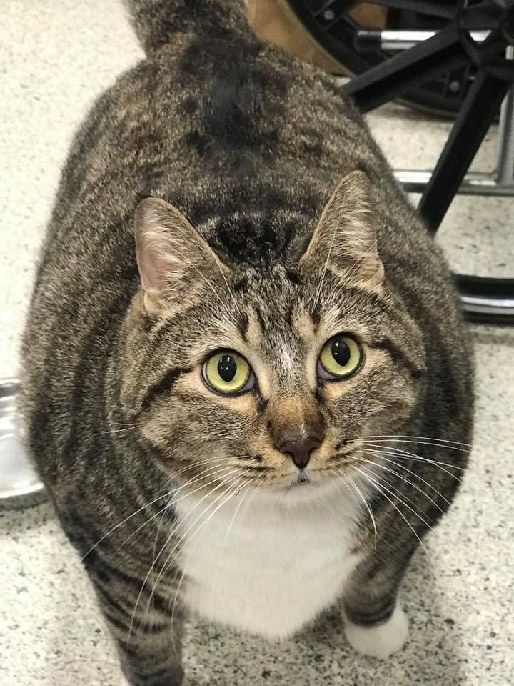 Кот Пончик искал новый дом, но был очень толст. Настолько, что от новых хозяев потребовали безжалостности 2