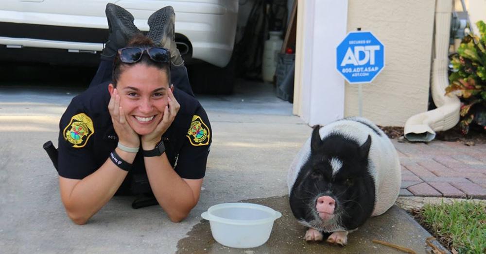Полицейские приехали ловить свинку, но та оказалась преступницей: ей удалось украсть их сердечки