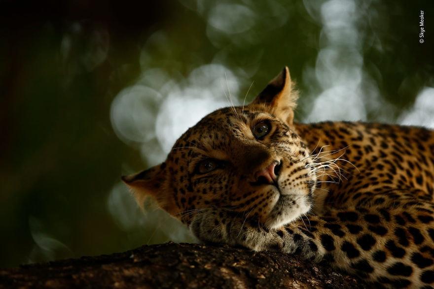 «Lounging Leopard» автор Skye Meaker, Южная Африка, фотограф молодого фотографа года
