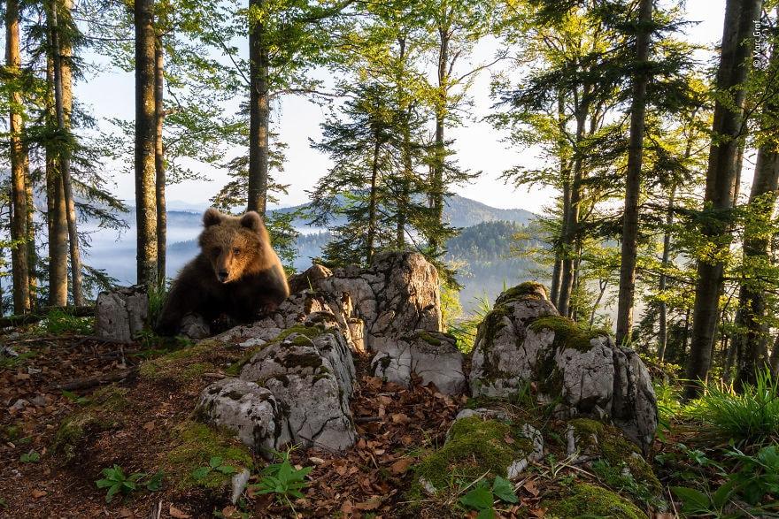 «Территория медведя» Марк Граф, Австрия, высоко оценил животных 2018 года в своей среде