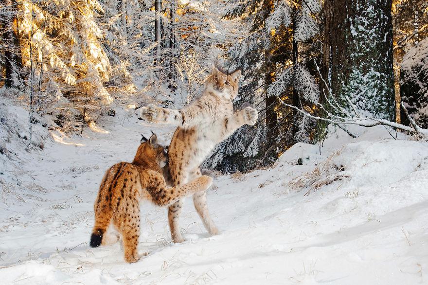 «Кошачий бой» Джулиус Крамер, Германия, высоко оценил поведение млекопитающих 2018 года