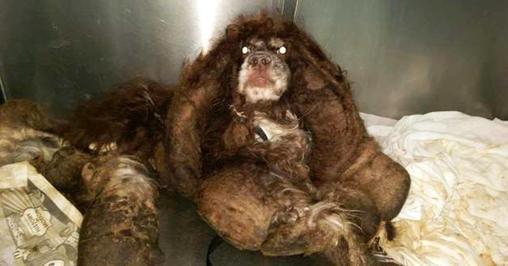Ветеринары состригли с этого зверя почти 3 кг меха. И тогда стало понятно, что это милашка-спаниель