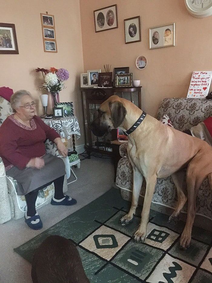 My Dane Loves Listening To My Nan