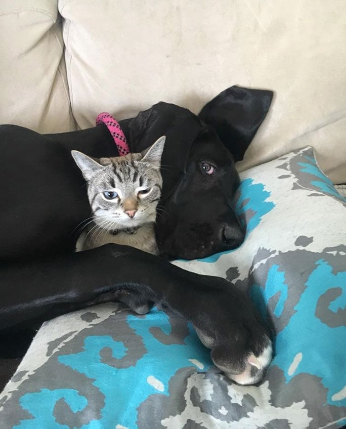 My 6-Months-Old Great Dane (Now 90 Lbs) Is Still BFFs With My Cat