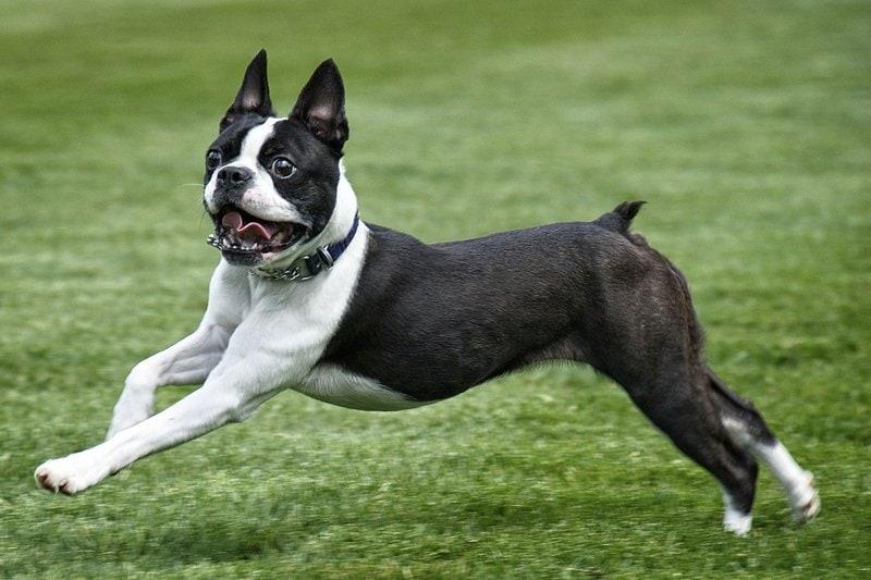 10 самых маленьких пород собак в мире, которых сложно найти, легко потерять и невозможно не любить 9