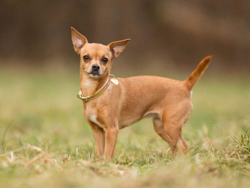 Порода собак самых маленьких