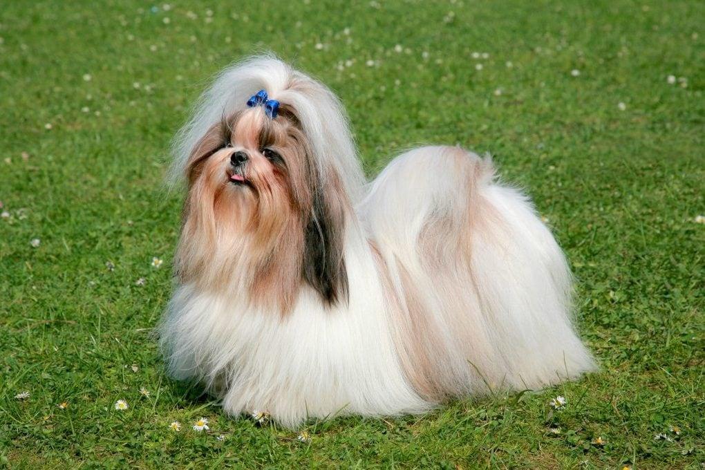 10 самых маленьких пород собак в мире, которых сложно найти, легко потерять и невозможно не любить 7