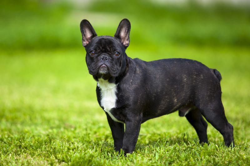 10 самых маленьких пород собак в мире, которых сложно найти, легко потерять и невозможно не любить 10