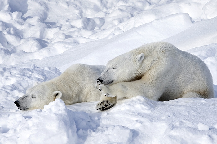 There Are No Polar Bears In Antarctica, Only In The Arctic