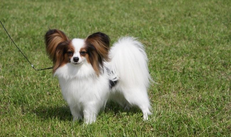 10 самых маленьких пород собак в мире, которых сложно найти, легко потерять и невозможно не любить 5