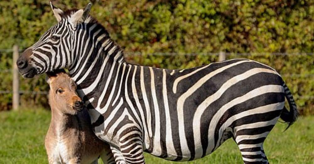 Этот необычный жеребёнок — плод любви зебры и осла, и его окрас по-настоящему уникален