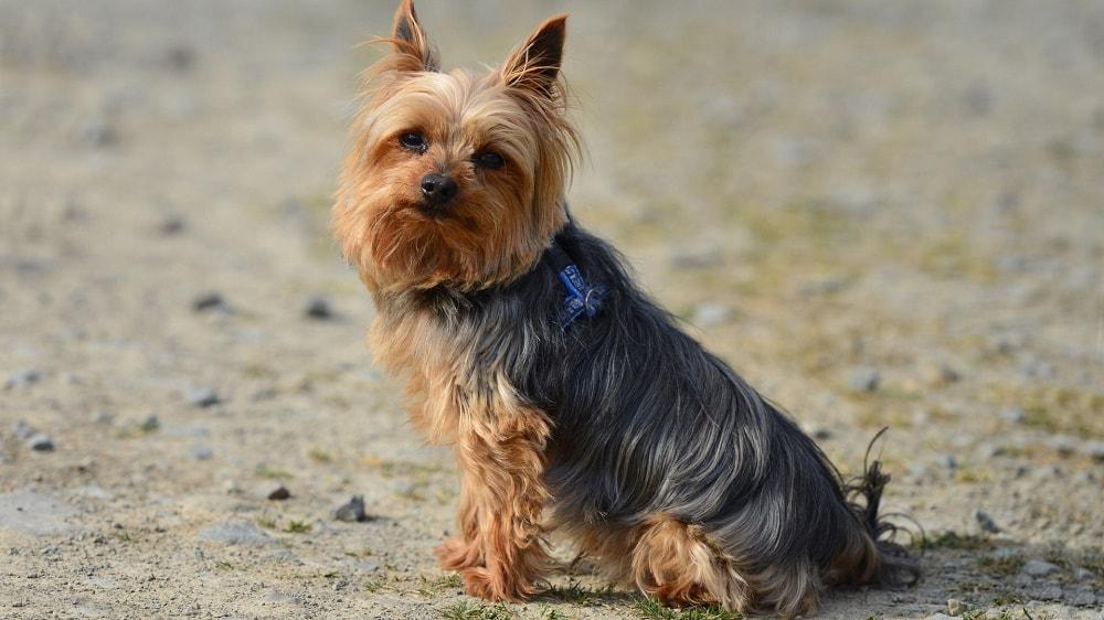 10 самых маленьких пород собак в мире, которых сложно найти, легко потерять и невозможно не любить 2