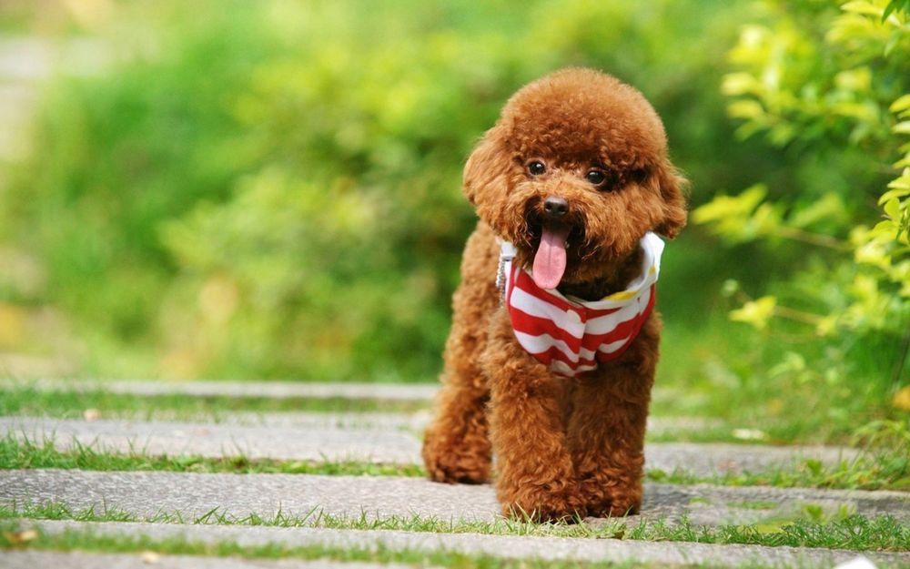 10 самых маленьких пород собак в мире, которых сложно найти, легко потерять и невозможно не любить 4