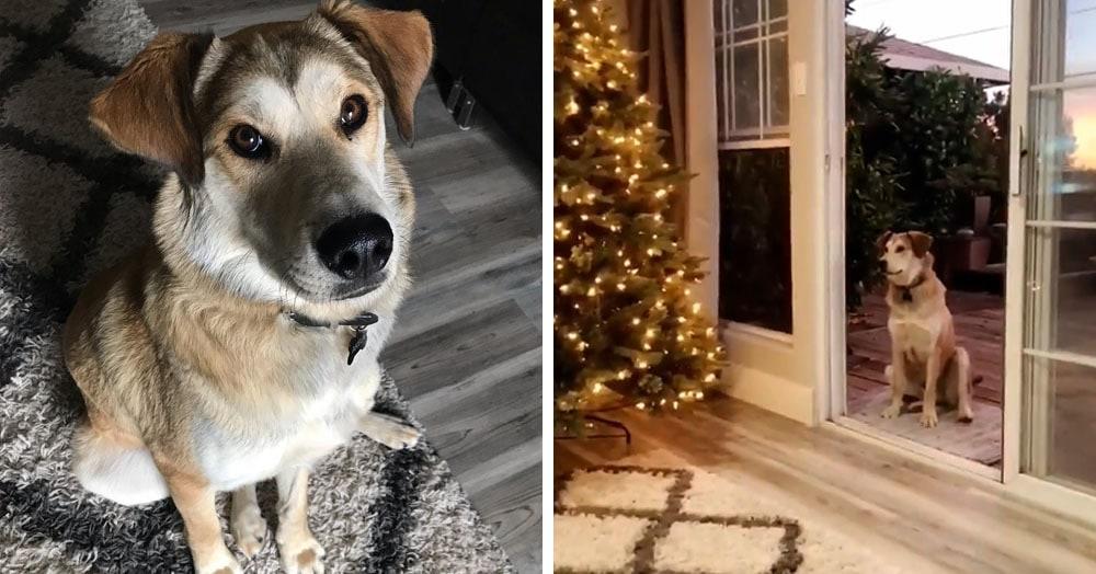 Пёс по кличке Акела не доверяет дверям. И чтобы впустить его домой, хозяева устраивают целое представление