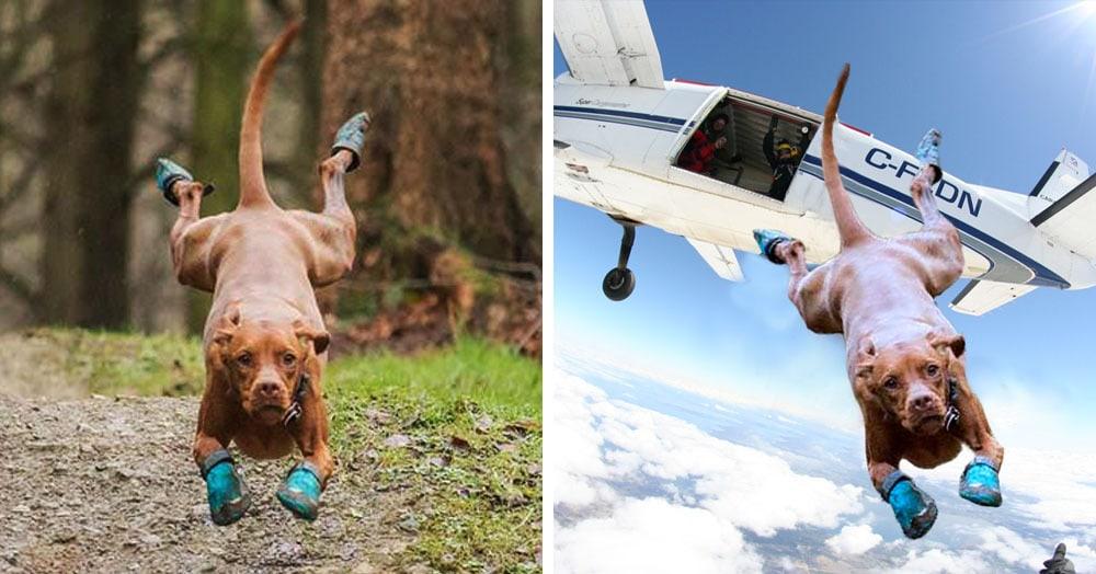 Пёс в забавных ботах так эмоционально бежал по дорожке, что прибежал прямо на поле битвы фотошоперов