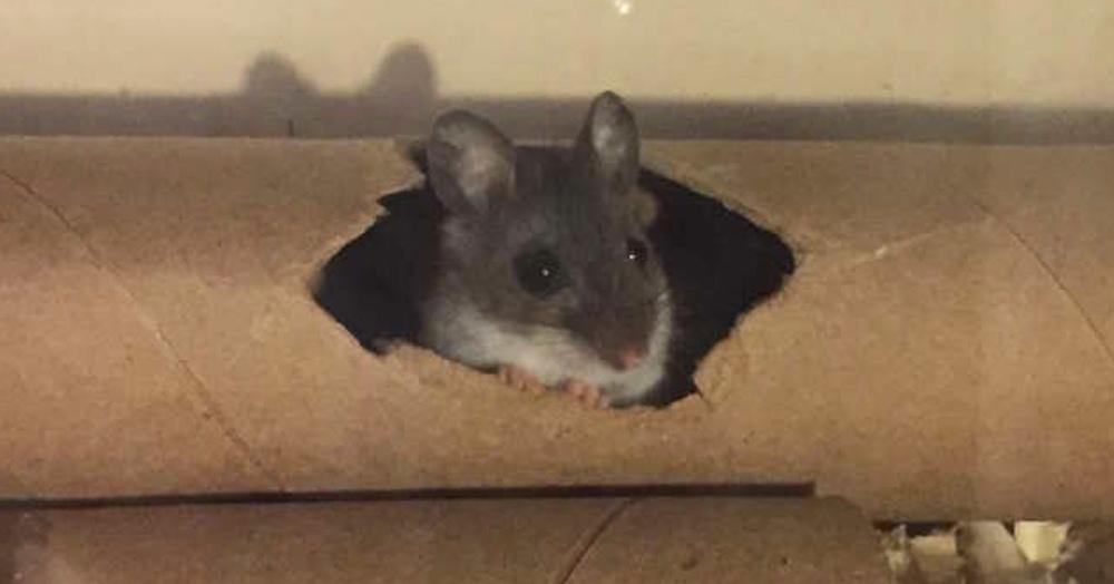 Девушка попыталась спасти мышонка, которого посчитали мёртвым. Усилия того стоили!