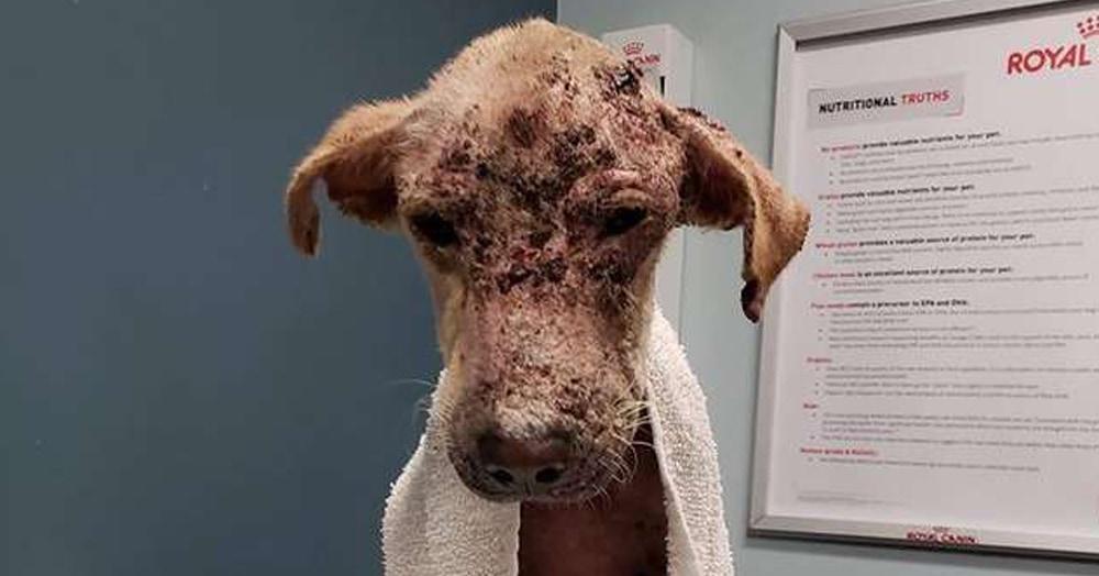 Зоозащитники думали, что эта собака умрёт. Но она не сдалась, обросла шерстью и стала красавицей