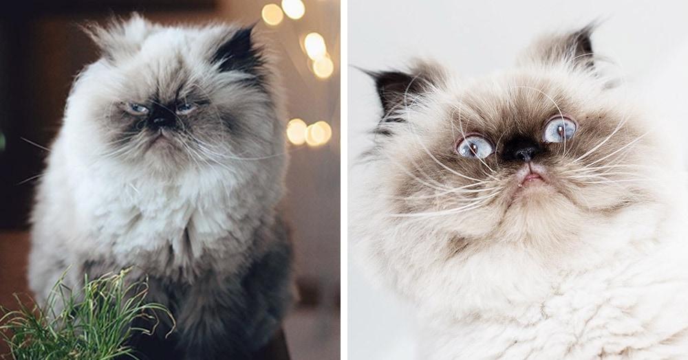 На мордахе этого гималайского котёнка — вселенское презрение, но в него невозможно не влюбиться!