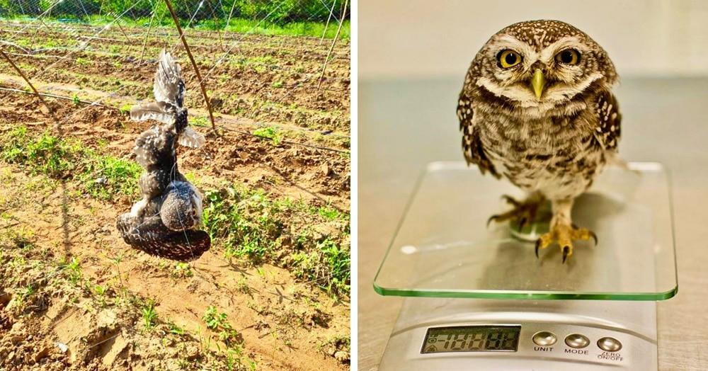 Тайский фермер увидел что-то странное, застрявшее в заборе. Оказалось, совы! Им нужна была помощь