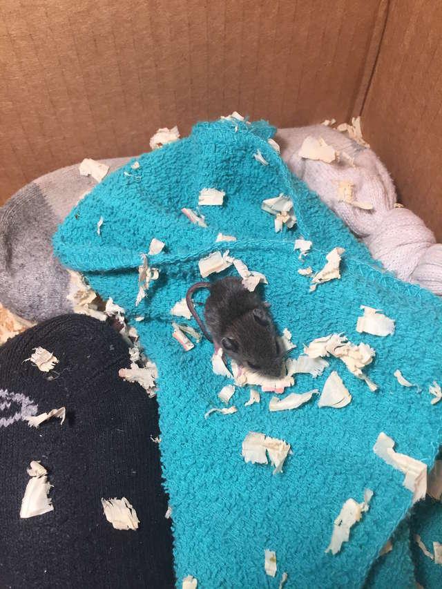 Девушка попыталась спасти мышонка, которого посчитали мёртвым. Усилия того стоили! 3