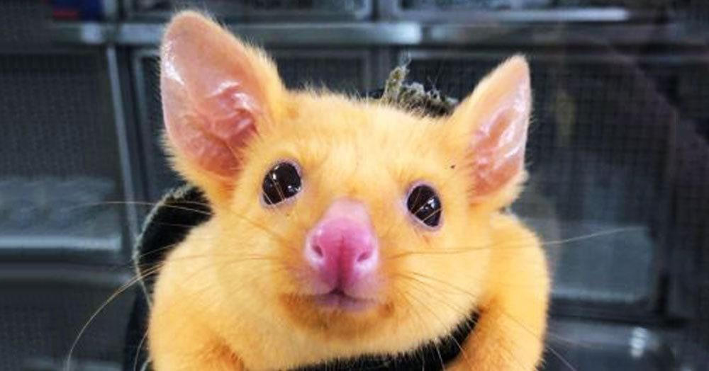 На улицах Австралии нашли Пикачу. Оказывается, он поссум с генетической мутацией