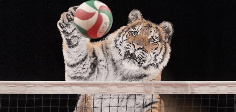 Тигр так игрался в снегу, что стал героем битвы фотошоперов. Ведь его морда хороша не только в лесу 4