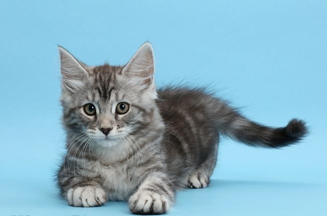 46149 2 - Фотограф показал взросление кошки в ускоренном виде, и вот как выглядит путь из детства в матёрость