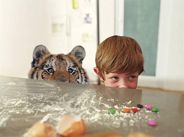 Тигр так игрался в снегу, что стал героем битвы фотошоперов. Ведь его морда хороша не только в лесу 6