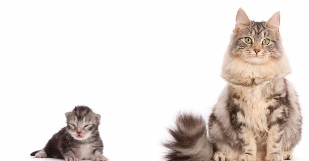 cvfuayyaprsopmlril - Фотограф показал взросление кошки в ускоренном виде, и вот как выглядит путь из детства в матёрость