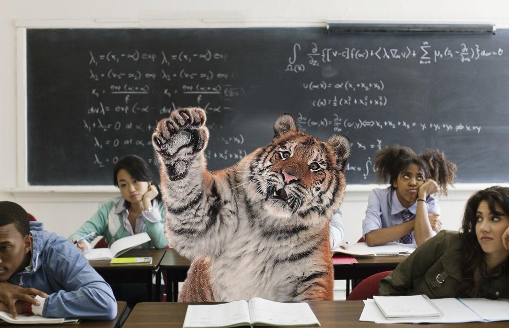 Тигр так игрался в снегу, что стал героем битвы фотошоперов. Ведь его морда хороша не только в лесу 12