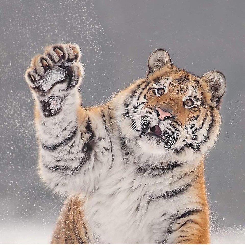 Тигр так игрался в снегу, что стал героем битвы фотошоперов. Ведь его морда хороша не только в лесу 1