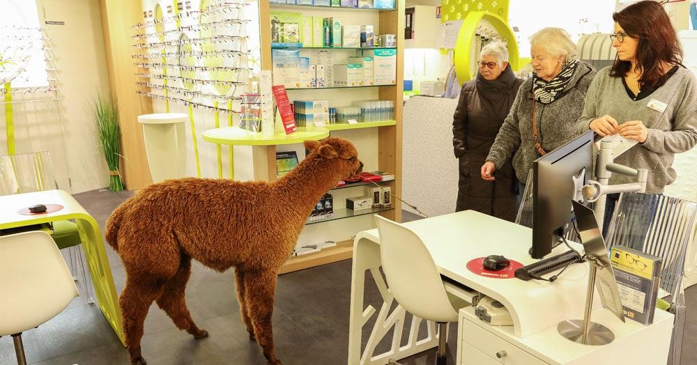 Во Франции альпака зашла в магазин оптики и полчаса выбирала очки. Хозяину пришлось уносить её на руках