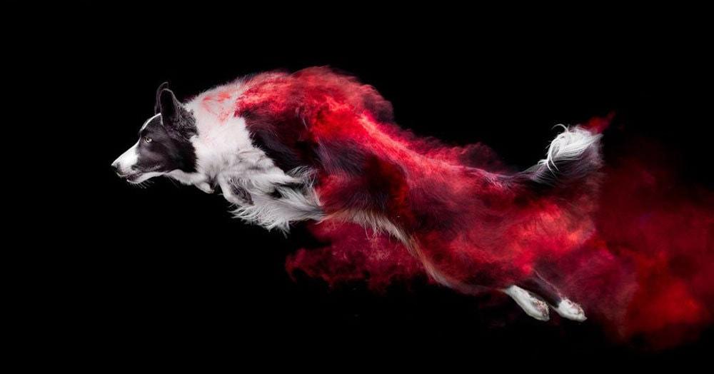 Канадский фотограф делает впечатляющие снимки собак в цветной пыли, и для этого ему не нужен фотошоп