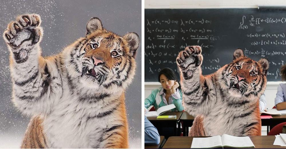 Тигр так игрался в снегу, что стал героем битвы фотошоперов. Ведь его морда хороша не только в лесу