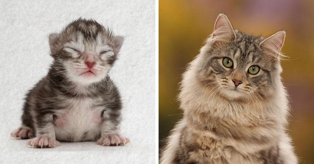 Фотограф показал взросление кошки в ускоренном виде, и вот как выглядит путь из детства в матёрость