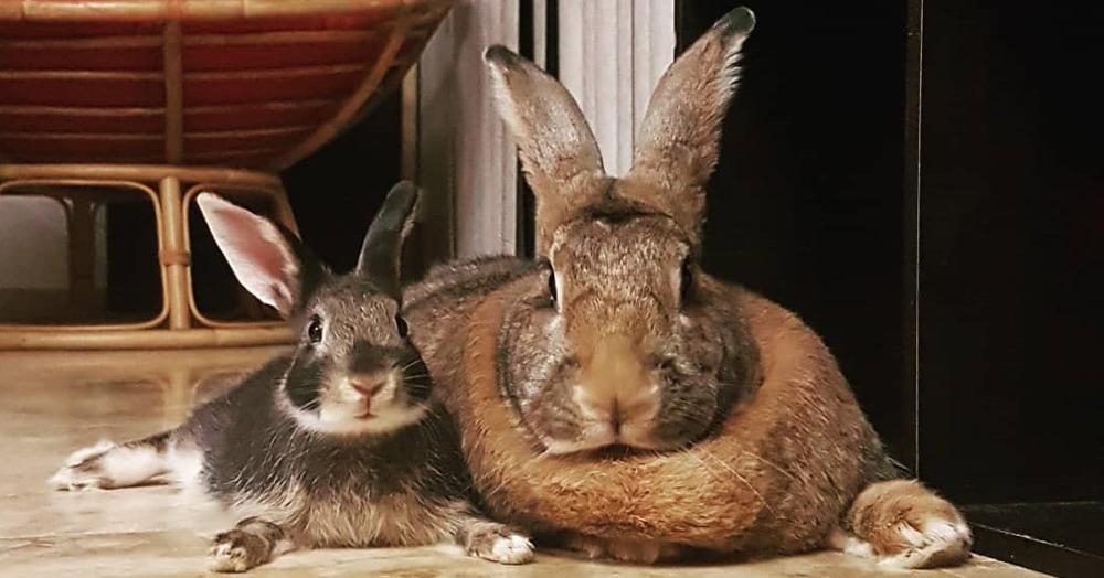Кролик Ромео весит в 4 раза меньше своей подружки. Но это не стало помехой их большой пушистой любви