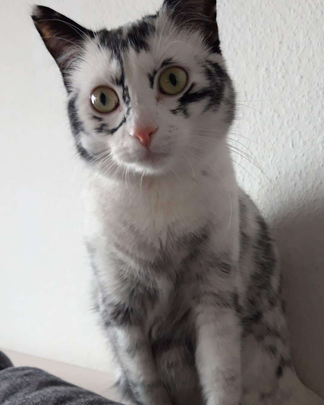 50873122 176789726622051 3262037442931262701 n - Немка нашла двух чёрно-белых кошек и взяла их себе. Но через пару месяцев одна из них начала белеть