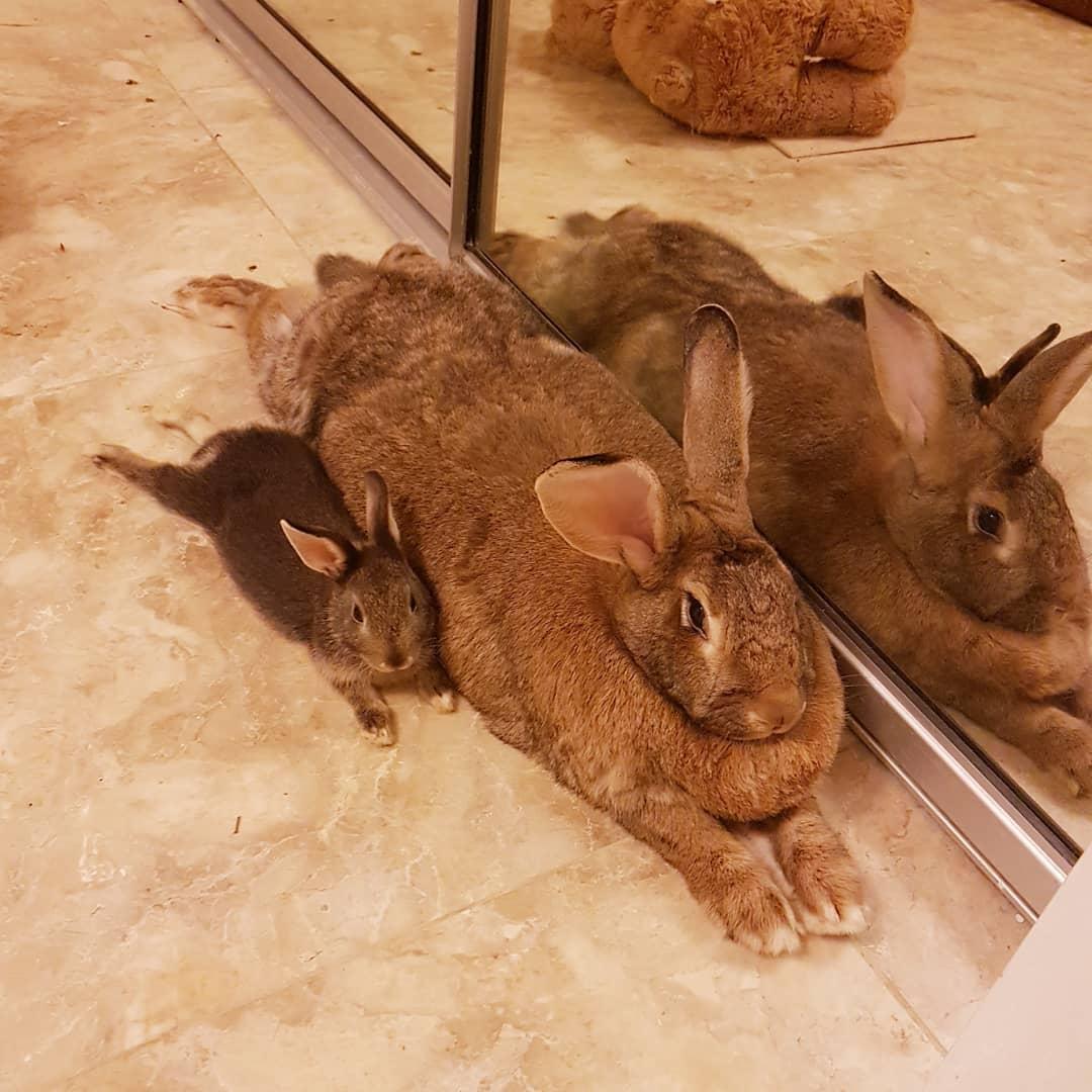 lilly sunshine flemishgirl 39386230 724765357864542 8539518616612110336 n - Кролик Ромео весит в 4 раза меньше своей подружки. Но это не стало помехой их большой пушистой любви