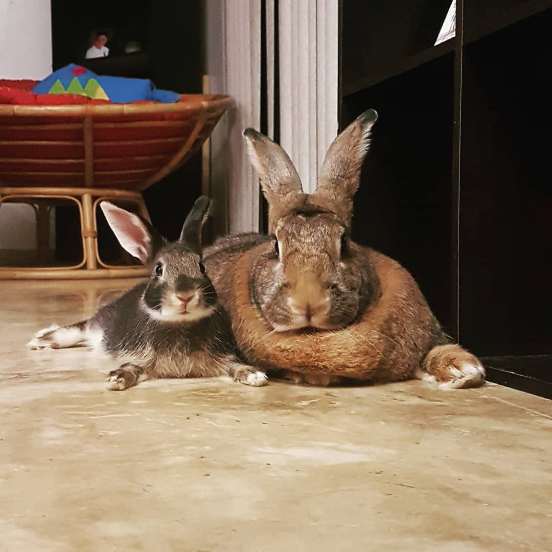 lilly sunshine flemishgirl 40648923 501293983682488 389721238511919828 n - Кролик Ромео весит в 4 раза меньше своей подружки. Но это не стало помехой их большой пушистой любви