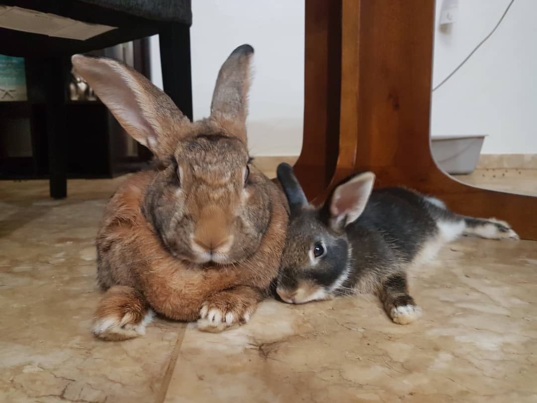 lilly sunshine flemishgirl 43913898 2318594291519235 5644554735440938440 n - Кролик Ромео весит в 4 раза меньше своей подружки. Но это не стало помехой их большой пушистой любви