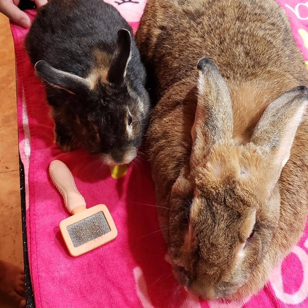 lilly sunshine flemishgirl 51732509 2269625420028388 744002122544017326 n - Кролик Ромео весит в 4 раза меньше своей подружки. Но это не стало помехой их большой пушистой любви