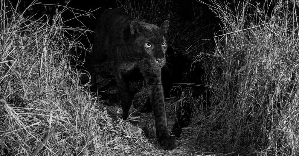 Британскому фотографу удалось заснять редчайшего чёрного леопарда — впервые за последние сто лет
