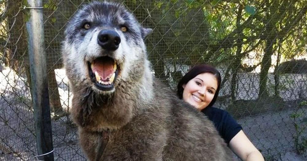 7 лет назад волка по кличке Юки должны были усыпить. Но его спасли, и он стал настоящим красавцем
