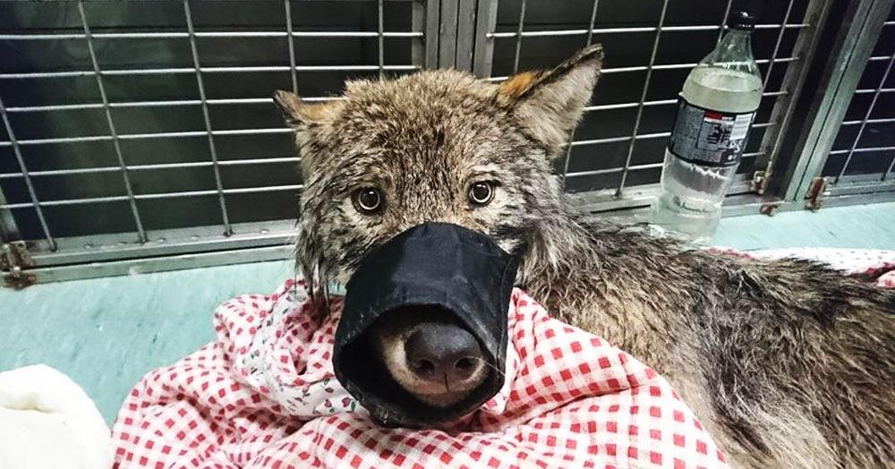Эстонские строители спасли из реки замёрзшую собаку и отвезли в клинику. Собака оказалась волком
