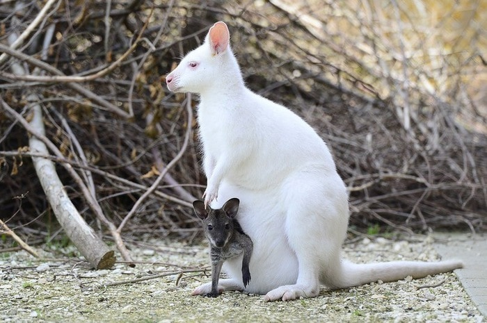 Кенгуру альбинос.