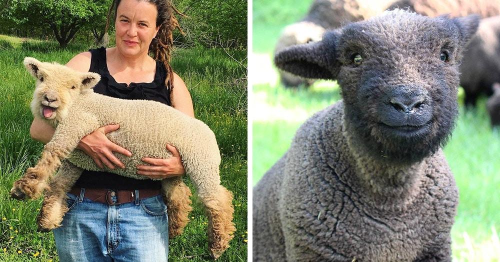 25 овечек породы бэбидолл, чей облик заставит любых котиков молча мурчать в сторонке