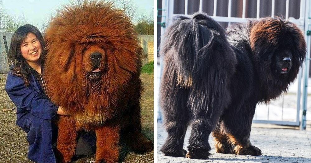 17 снимков тибетских мастифов, в которых 60 килограммов шерсти, любви и очарования