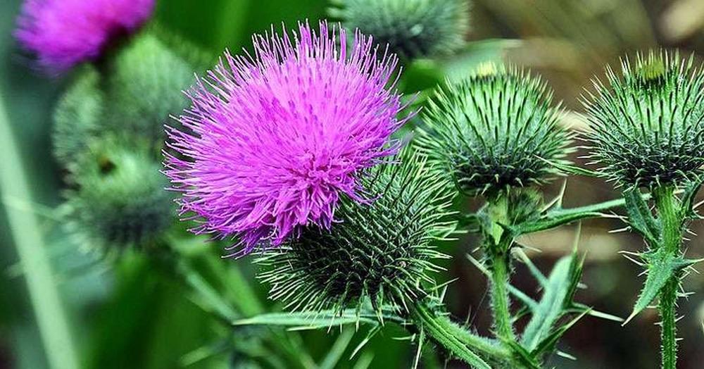 Пупавка, козульник и чубушник: знаете ли вы, как называются цветы, которые видели тысячу раз?