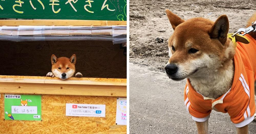 Этот японский пёс породы сиба-ину продаёт жареный картофель и не даёт сдачу, потому что у него лапки