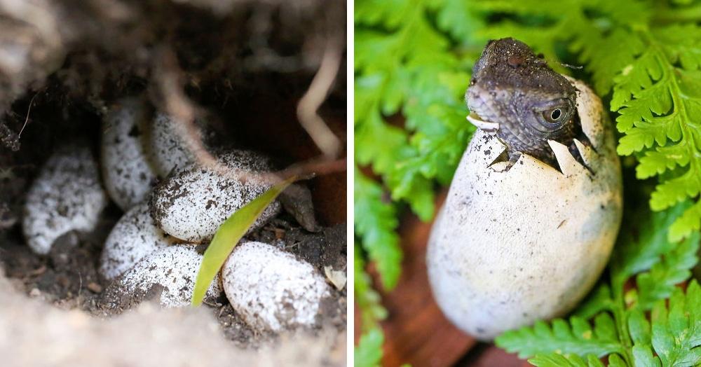 Семья из Австралии нашла в саду яйца восточной водяной ящерицы и помогла малышам появиться на свет